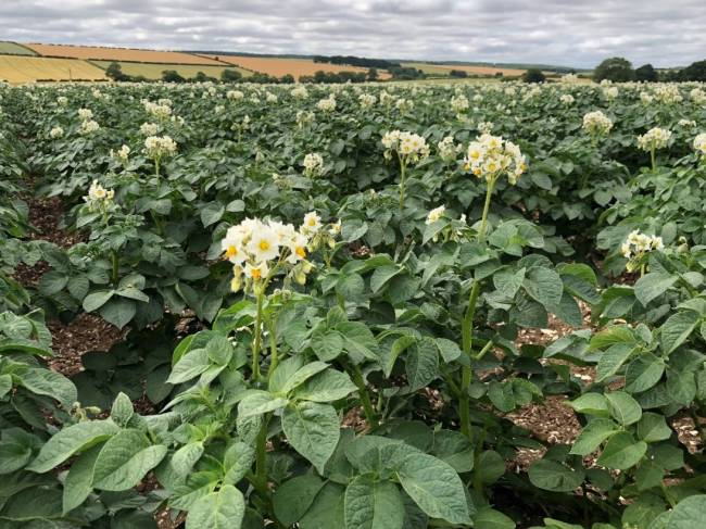 The UK Potato Market – A Farmer's View – August 2018